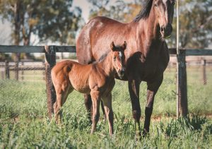 US Navy Flag x Romantic Vision filly